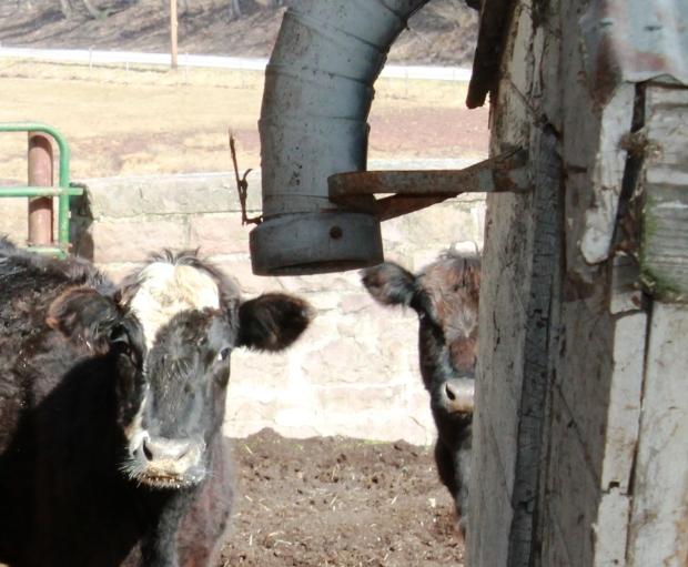Cow Peek