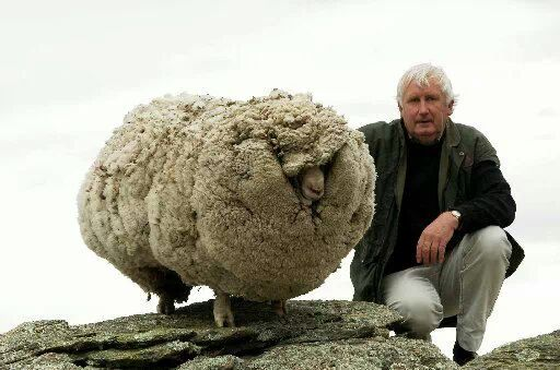 dirty sheep